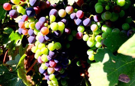 הענבים שיניבו את יין פארס 188 החדש